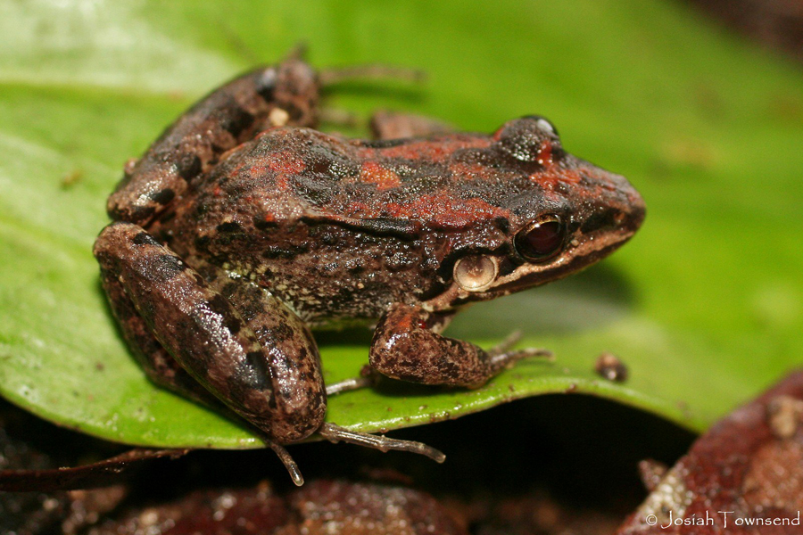 Leptodactylus fragilis © Josiah Townsend
